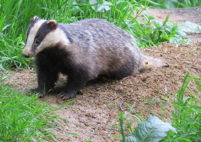 A badger photo taken by Alex White, wildlife photographer with the Oxfordshire Badger Group charity.