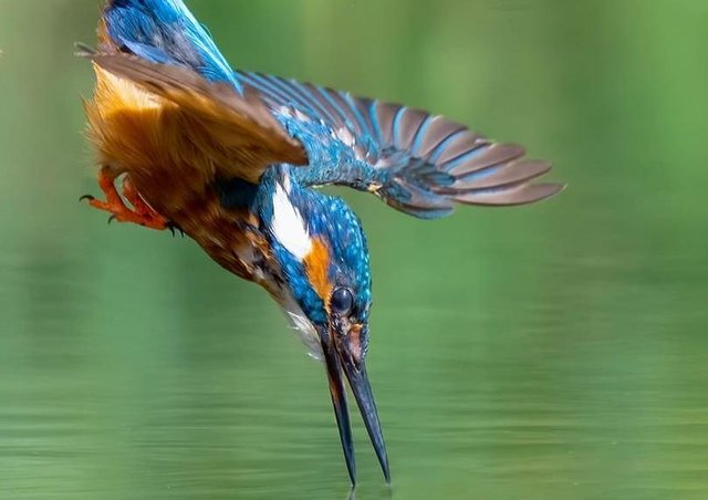 A kingfisher heading for lunch. Photo: Dave Newman. EMN-200709-185620001