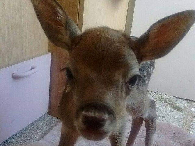 The rescued deer cared for by Wild Things.