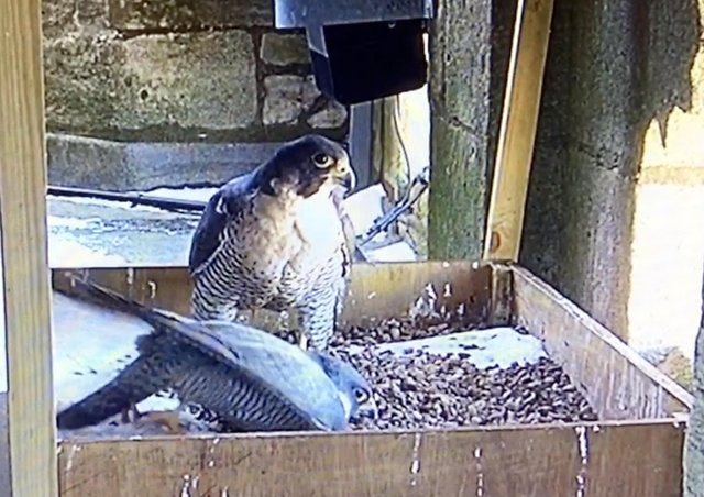 Peregrines creating a depression in the gravel in which to lay their eggs.
