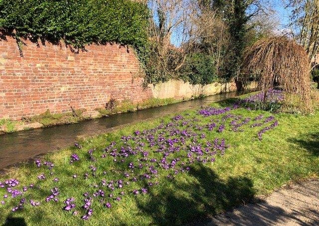 Purple crocus plants at Spout Yard, which has had the best display in Louth this year