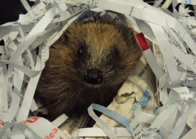 More than 2,700 hedgehogs were admitted to RSPCA national wildlife centres last year. EMN-200505-153138001