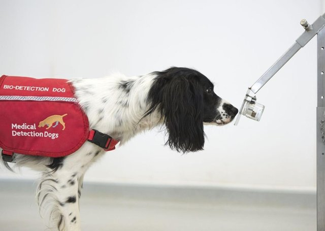 This new trial will look at whether the dogs, a mixture of Labradors and Cocker Spaniels, can be trained to detect coronavirus in people too, even if they aren't showing symptoms. EMN-200515-165322001