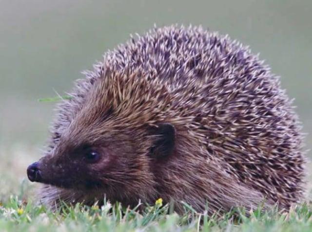 National Hedgehog Awareness Week.