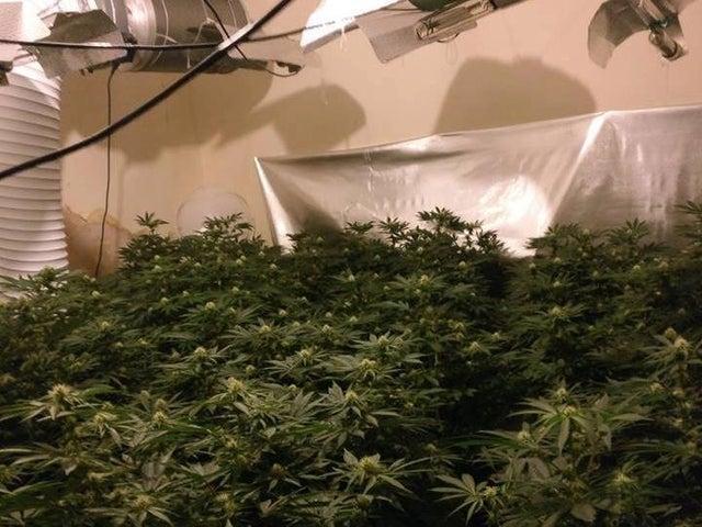 Image of a cannabis grow.